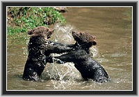 Young Brown Bears