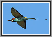 "Bee-eater ""pursued by bee"""