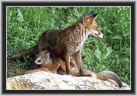 Red Fox with cubs