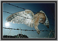 Barn Owl - Death in the barbed wire