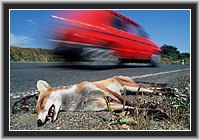 Red Fox - road casualty