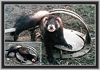 Polecat - caught, tormented, killed