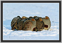 Flock of Grey Partridges in the Winter, North Hesse, Germany