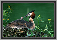 Great Crested Grebe, North Hesse, Germany