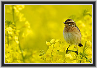Whinchat in Rape Field, North Hesse, Germany