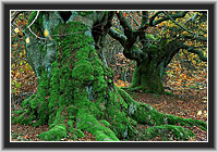 Old Beeches in the Kellerwald, North Hesse, Germany