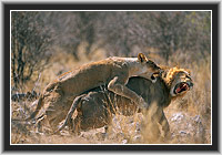 """Woman Power"", Lions in the Etosha NP, Namibia"